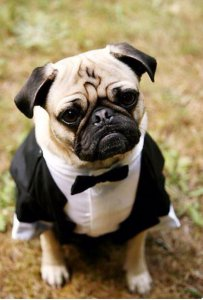 99b3265913ace73f115fd2252f2b1a9f--ring-bearer-outfit-pugs-dressed-up